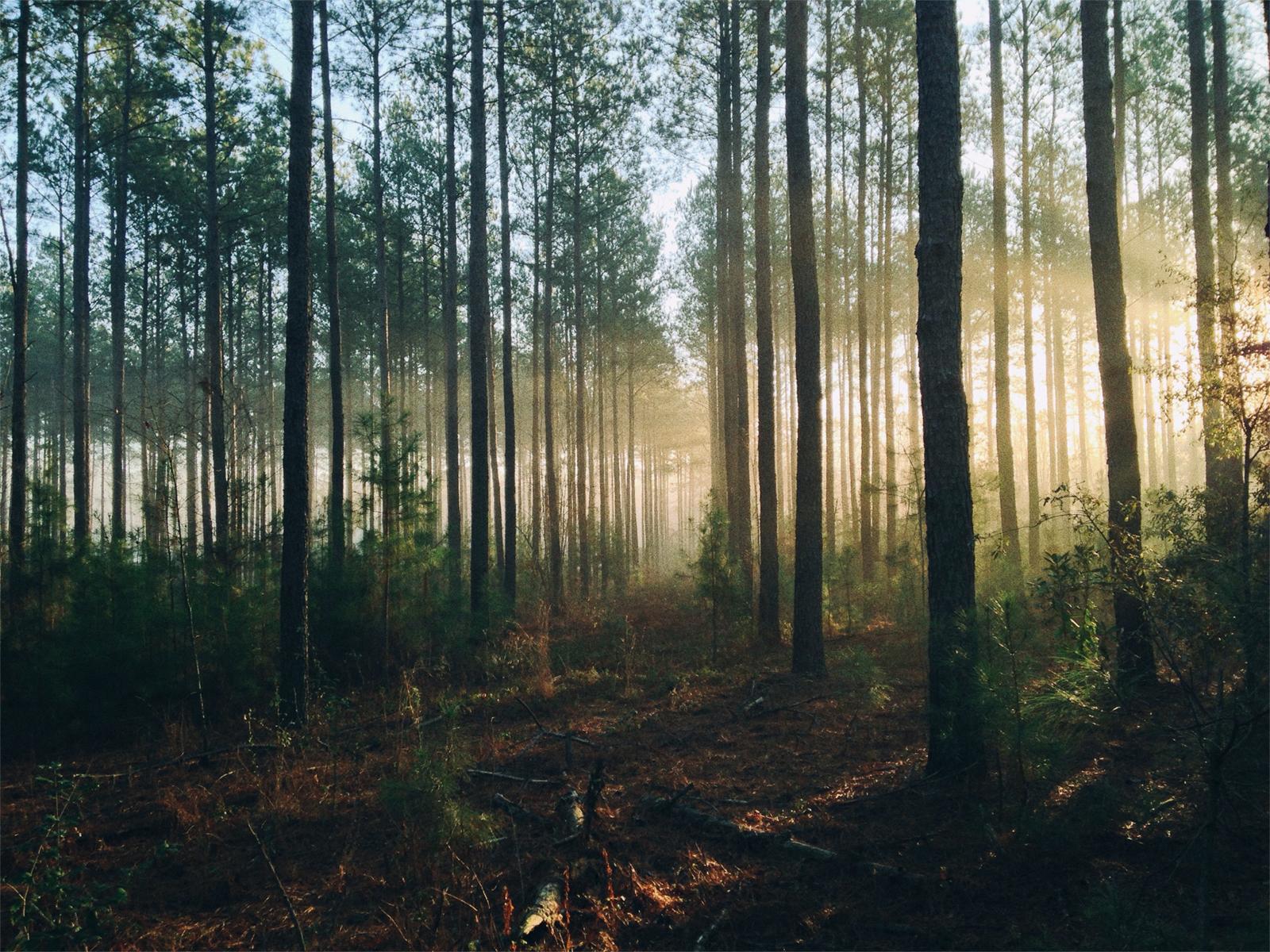 Sun rays through forest trees